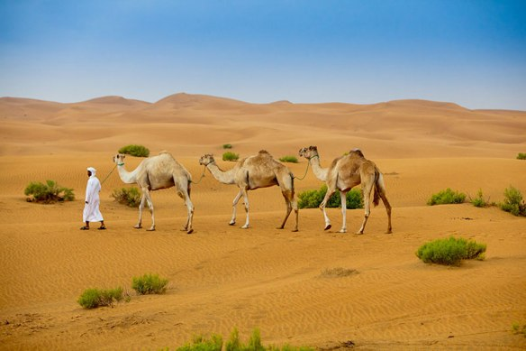 Camel handler leading camels at Empty Quarter desert in Abu Dhabi.