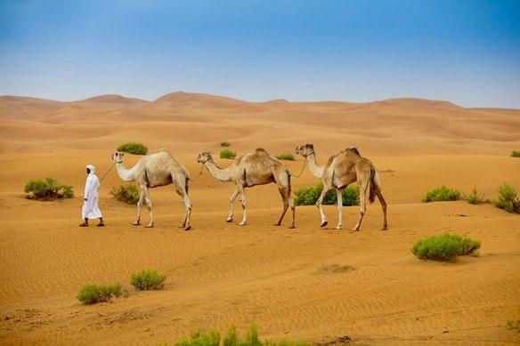 Camel handler leading camels at Empty Quarter desert in Abu Dhabi.